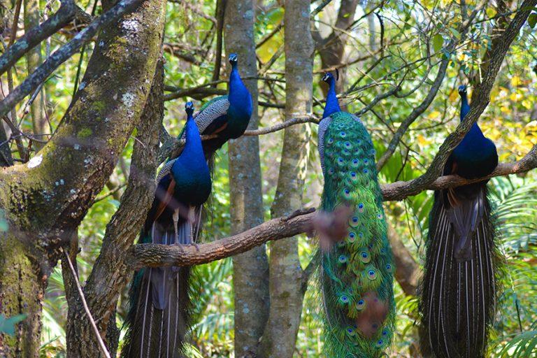 Resident Peacocks